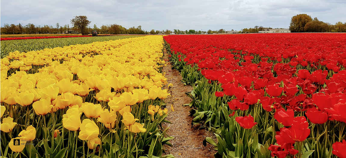 Red and yellow tulips of Amsterdam